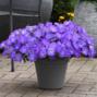 Wave Lavender Sky Blue Wave Petunia Jumbo 6 pack (reg. 19.99)